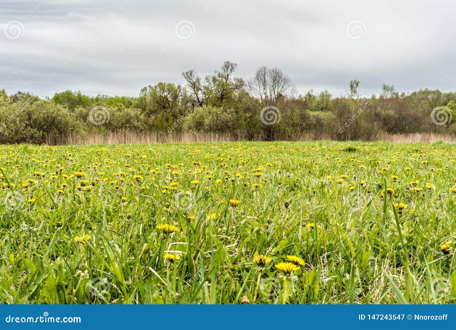 Paardebloem in groen gras Mooi de lente panoramisch schot met een paardebloemweide Gebied van paardebloemen op achtergrond van de