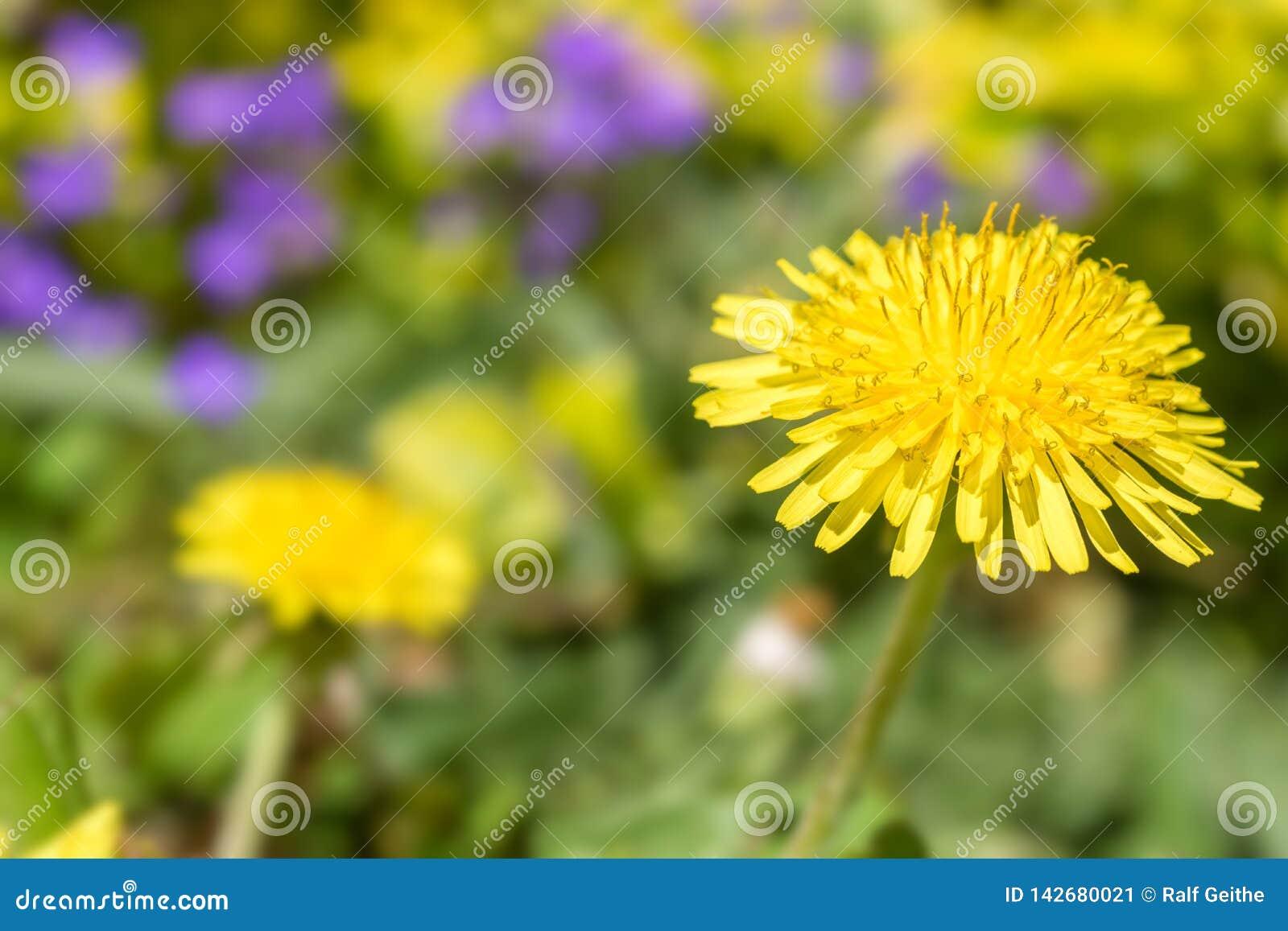 Paardebloem met zachte bokeh in een kleurrijke bloemweide