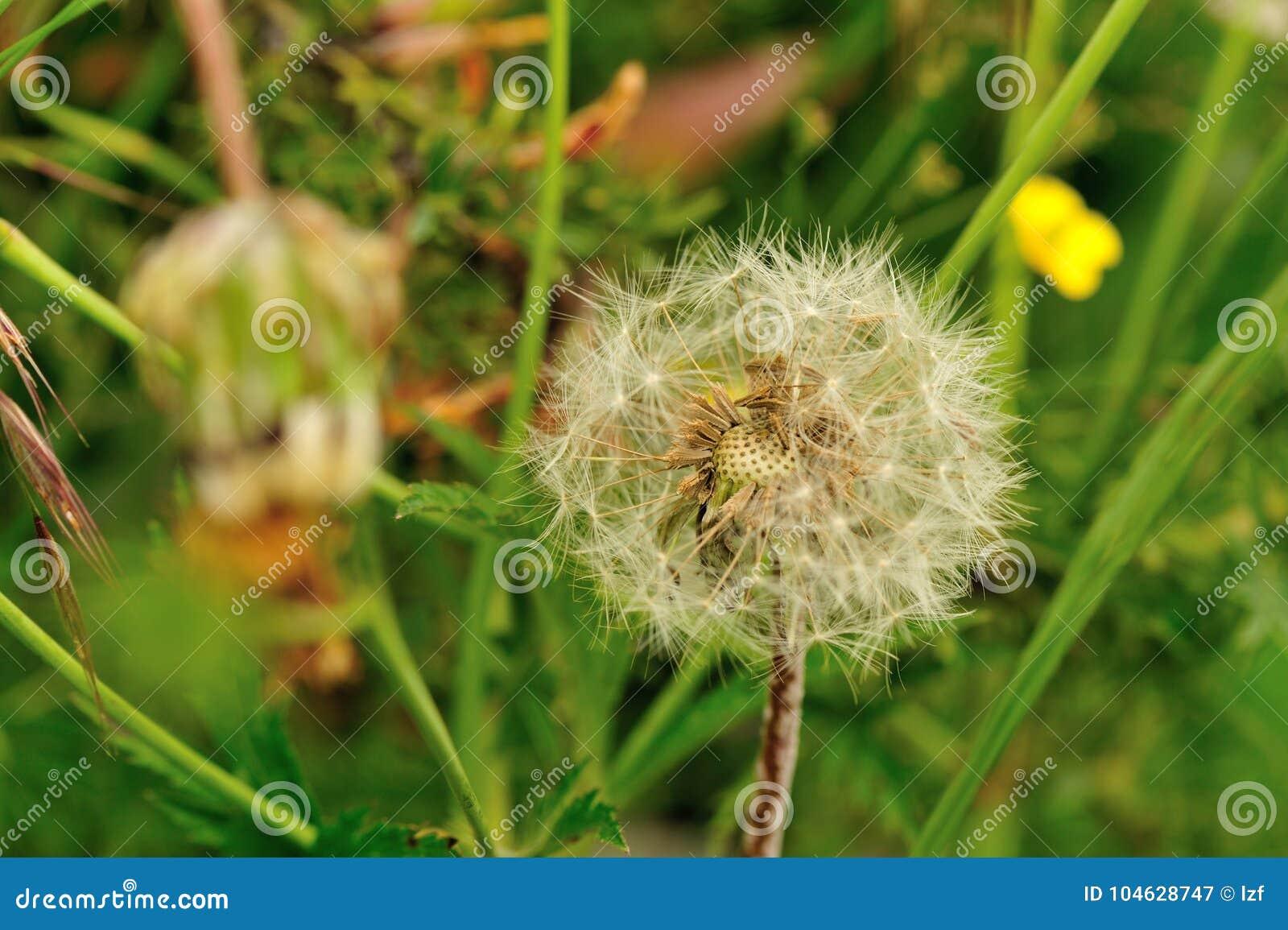 Download Paardebloembloem Op Een Groene Tuin Stock Afbeelding - Afbeelding bestaande uit radiaal, nave: 104628747