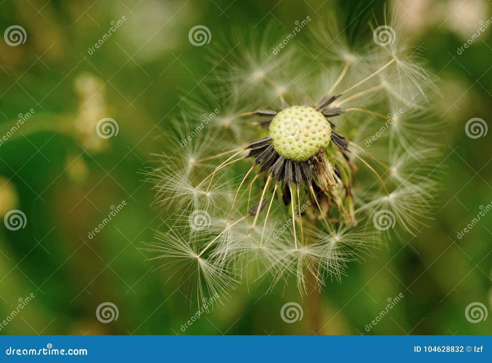 Download Paardebloembloem Op Een Groene Tuin Stock Foto - Afbeelding bestaande uit radiaal, macro: 104628832