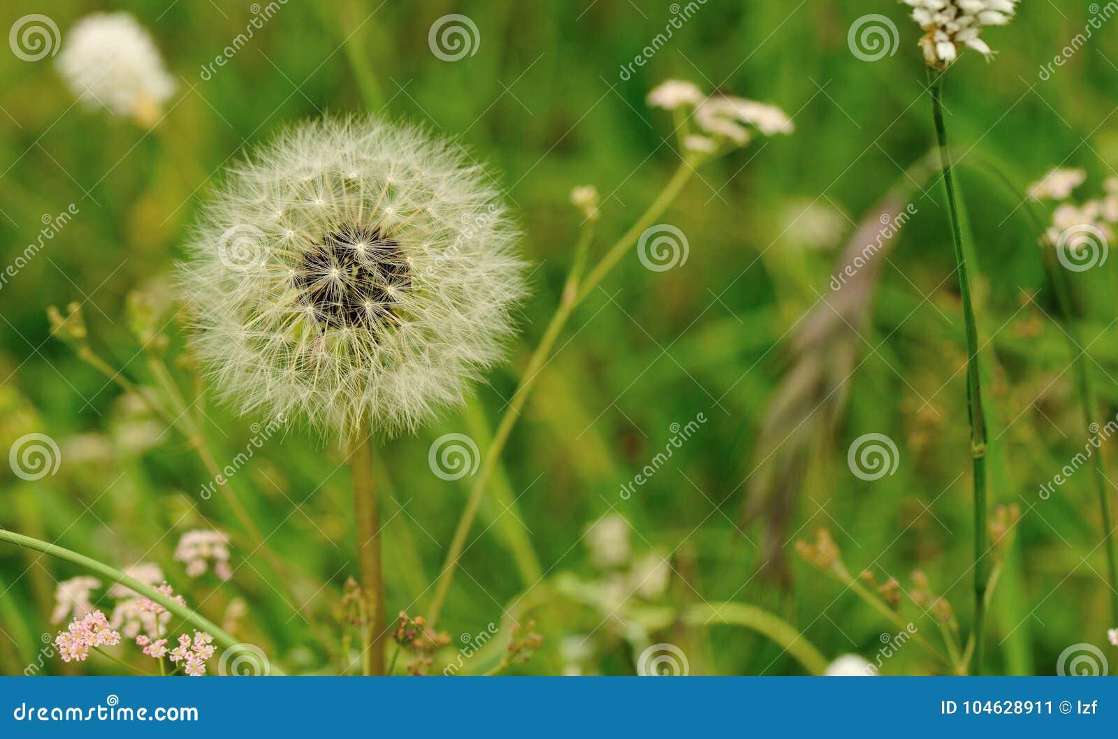 Download Paardebloembloem Op Een Groene Tuin Stock Afbeelding - Afbeelding bestaande uit sluit, landschap: 104628911