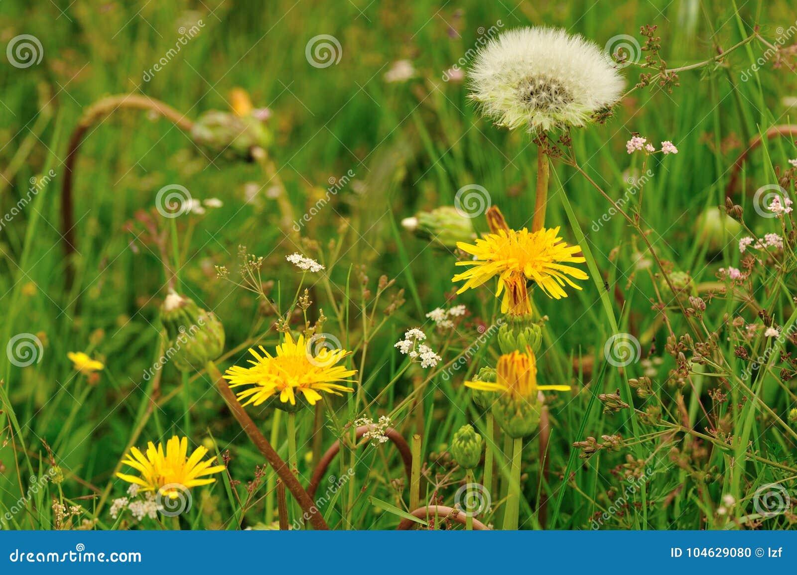 Download Paardebloembloem Op Een Groene Tuin Stock Foto - Afbeelding bestaande uit sluit, blowing: 104629080