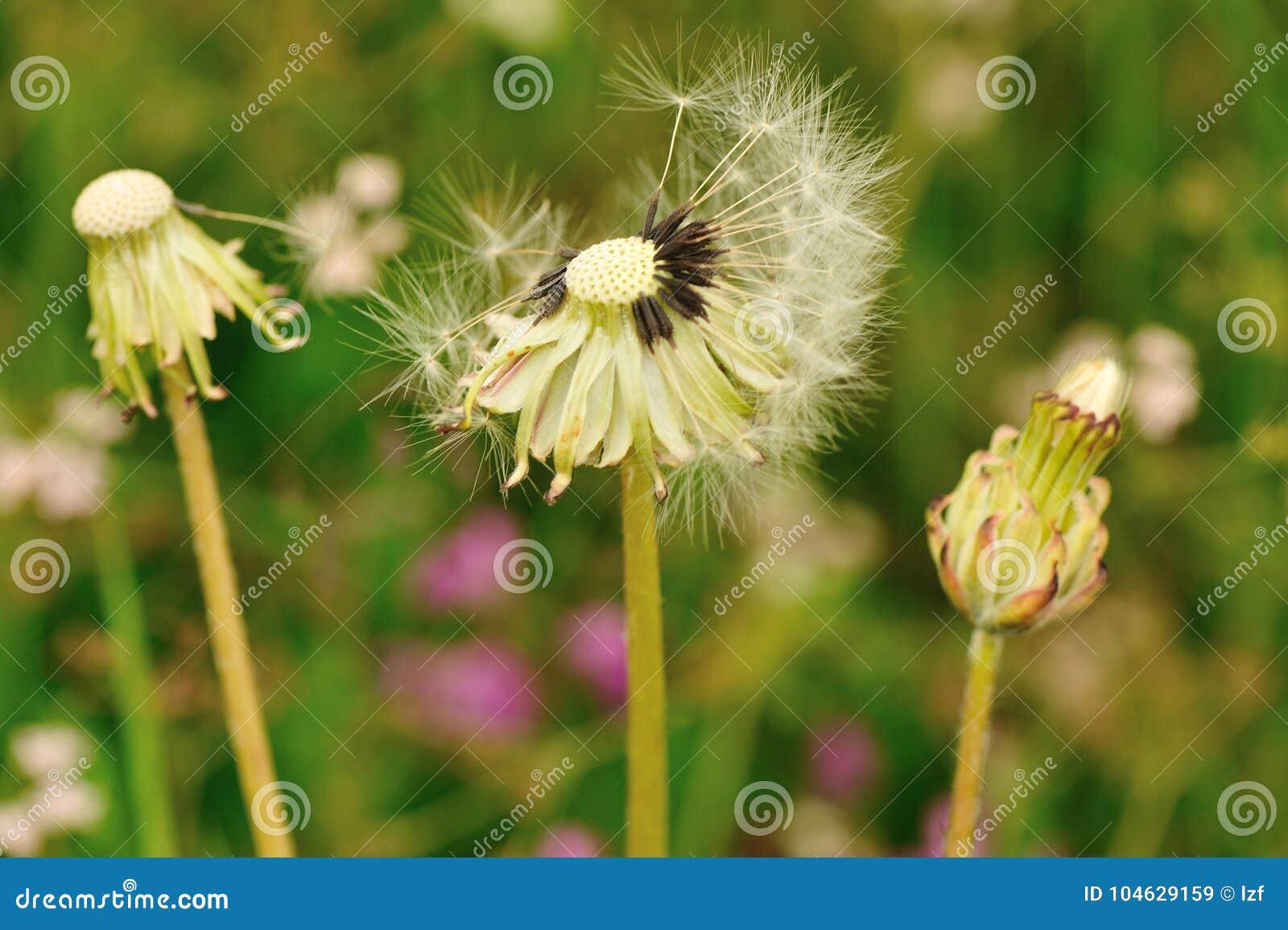 Download Paardebloembloem Op Een Groene Tuin Stock Afbeelding - Afbeelding bestaande uit radiaal, bloemblaadje: 104629159