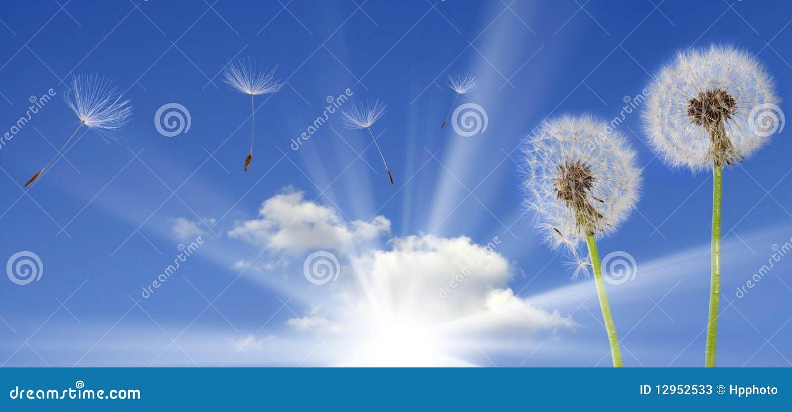 Paardebloemen op blauwe hemel