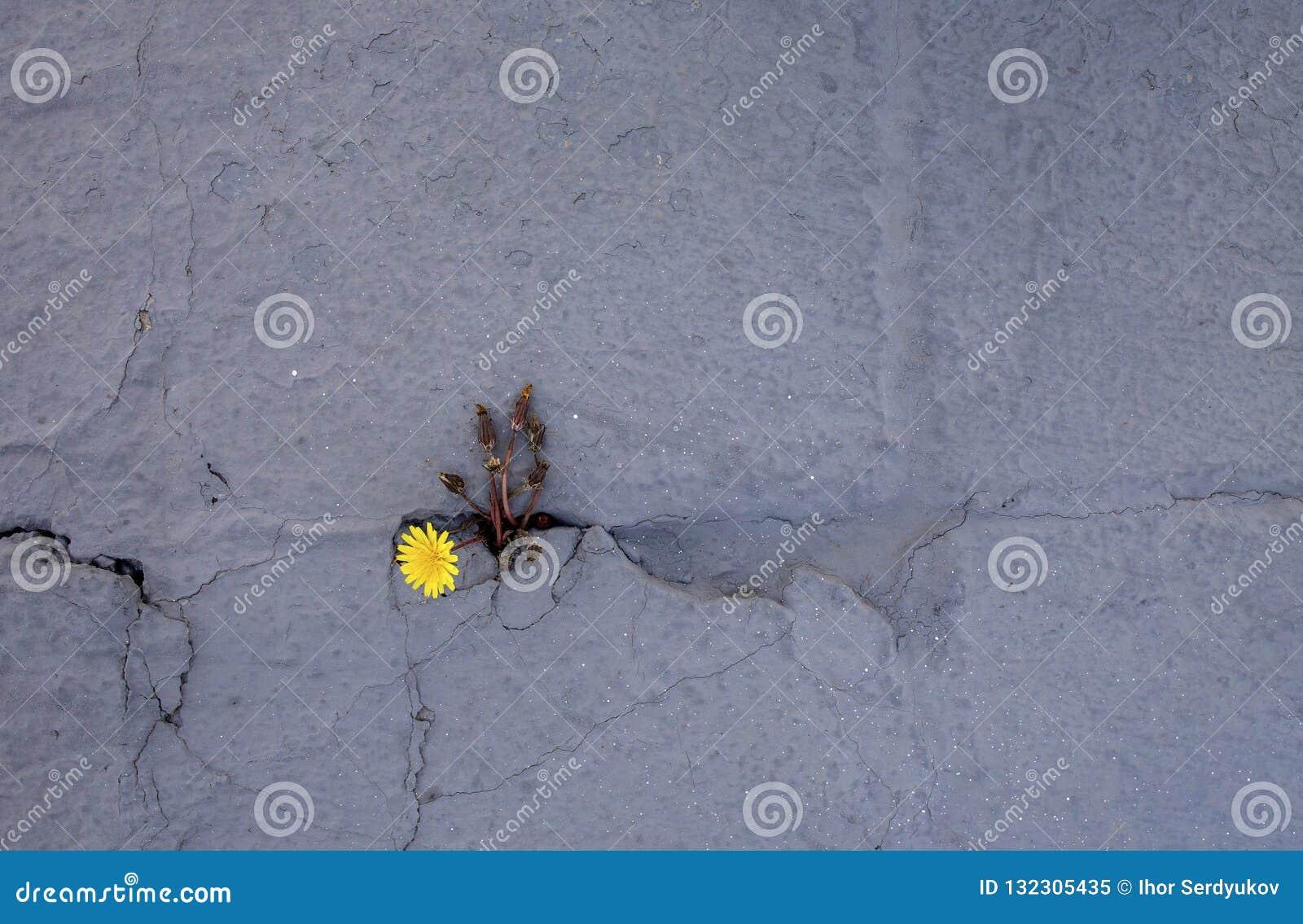 Paardebloemspruiten door de concrete vloer Het symbool van strijd en weerstand Concept: geef geen kwestie niet op wat,
