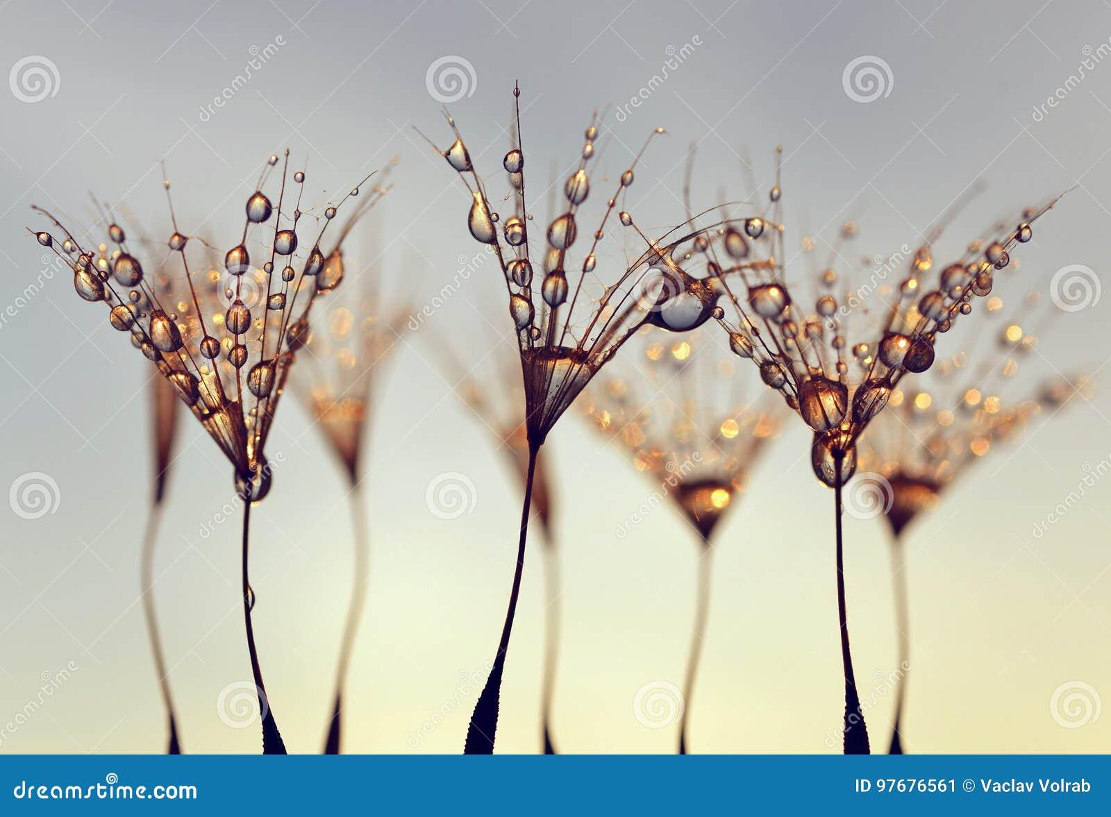 Paardebloemzaden met de ochtenddalingen van dauw