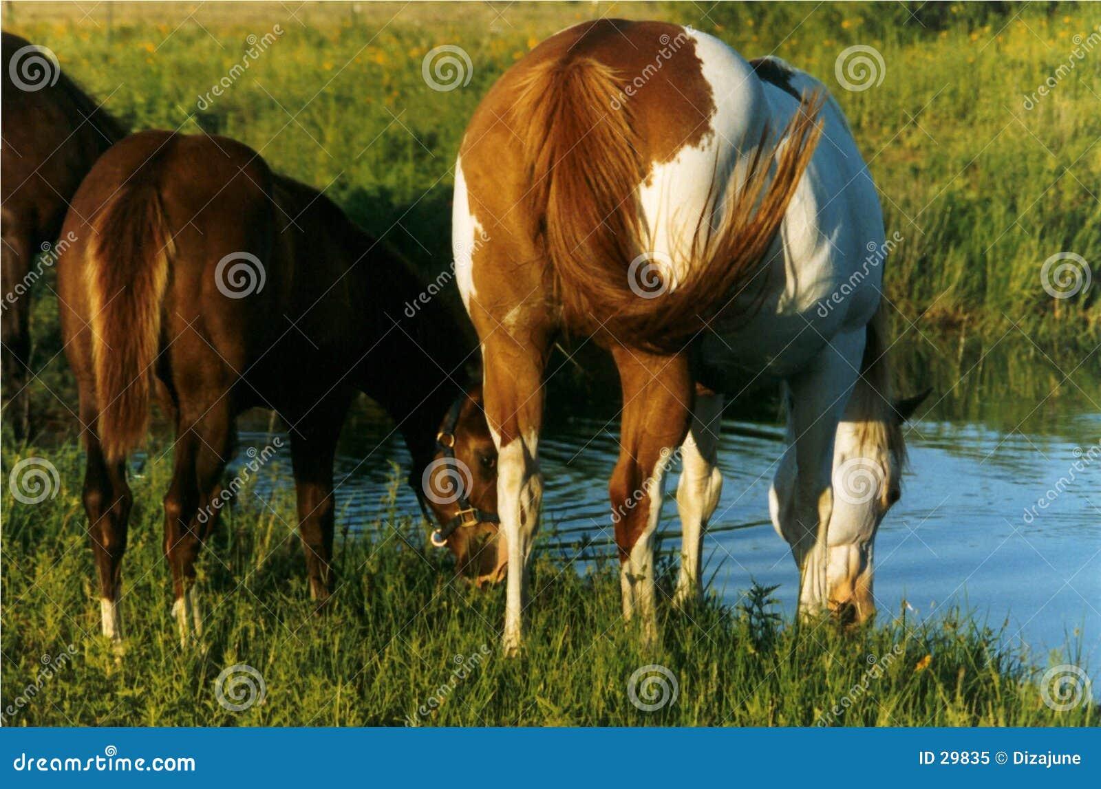 Paarden die bij Vijver drinken