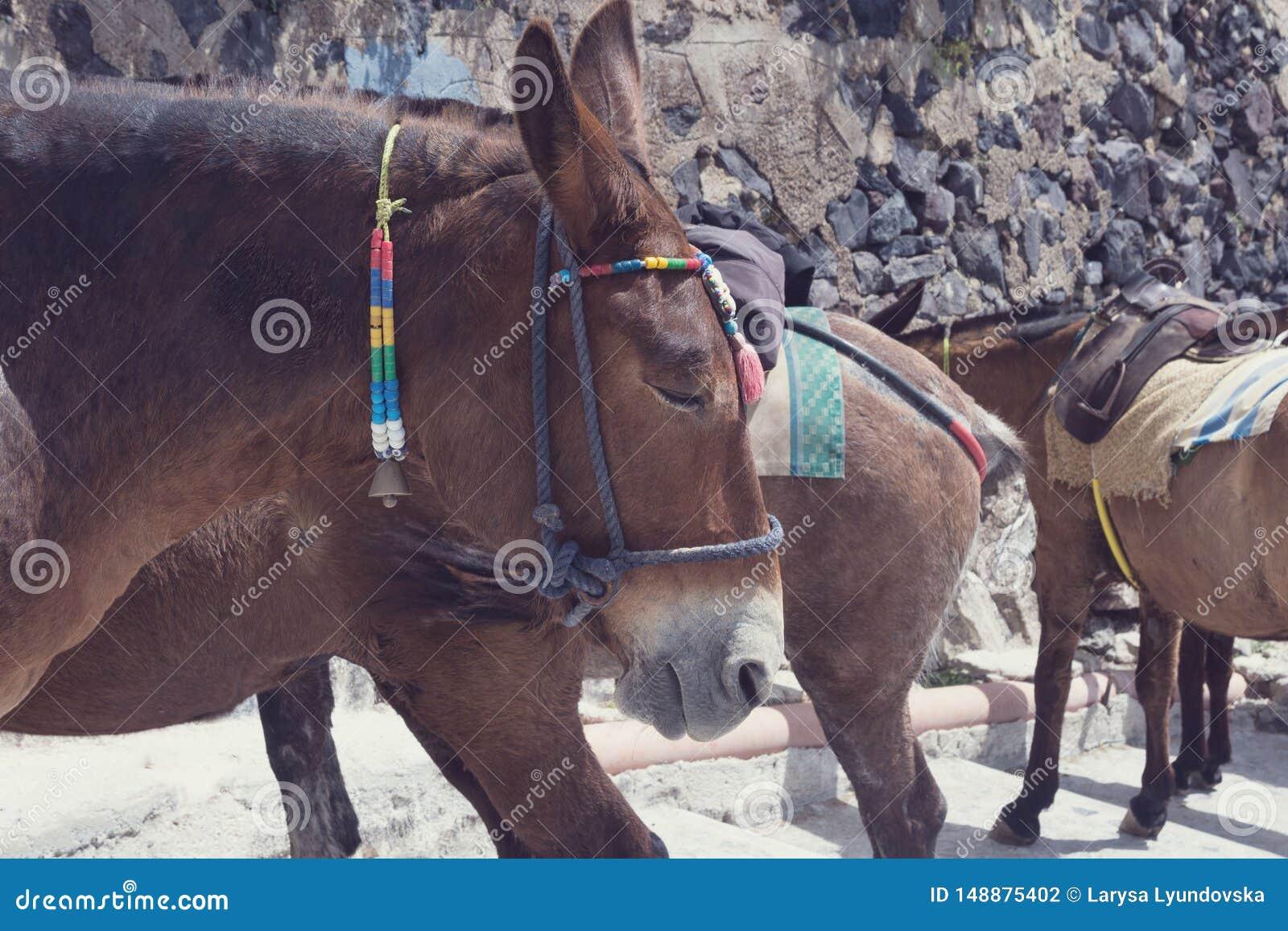 Paarden en ezels op het Eiland Santorini - het traditionele vervoer voor toeristen