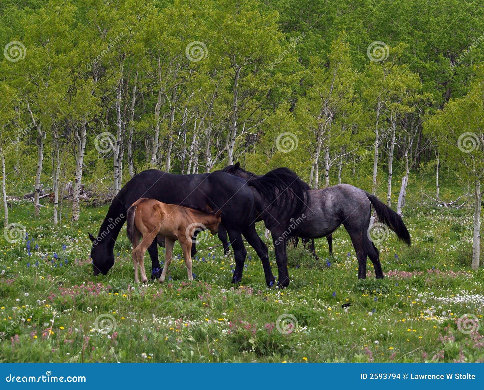 Paarden en Veulen