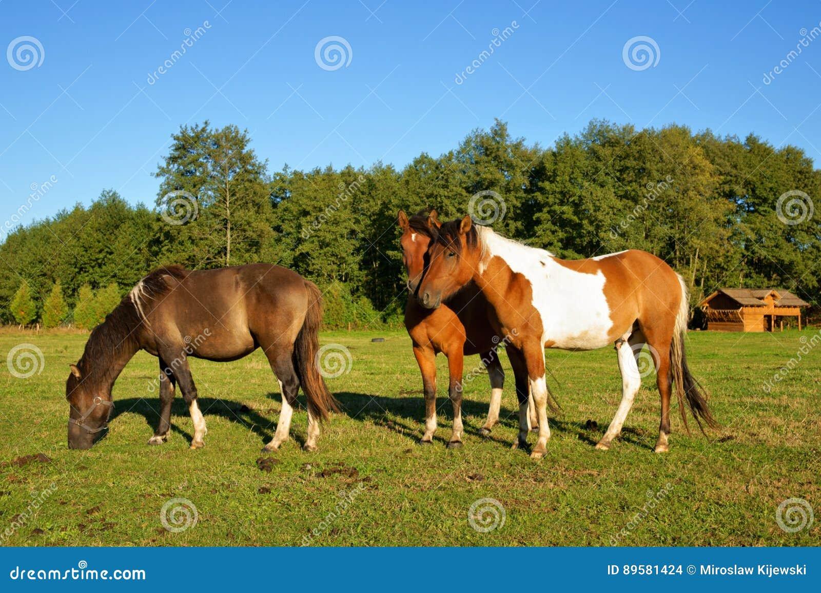 Paarden, Hengst met een penis op bovenkant en Merries in het weiland
