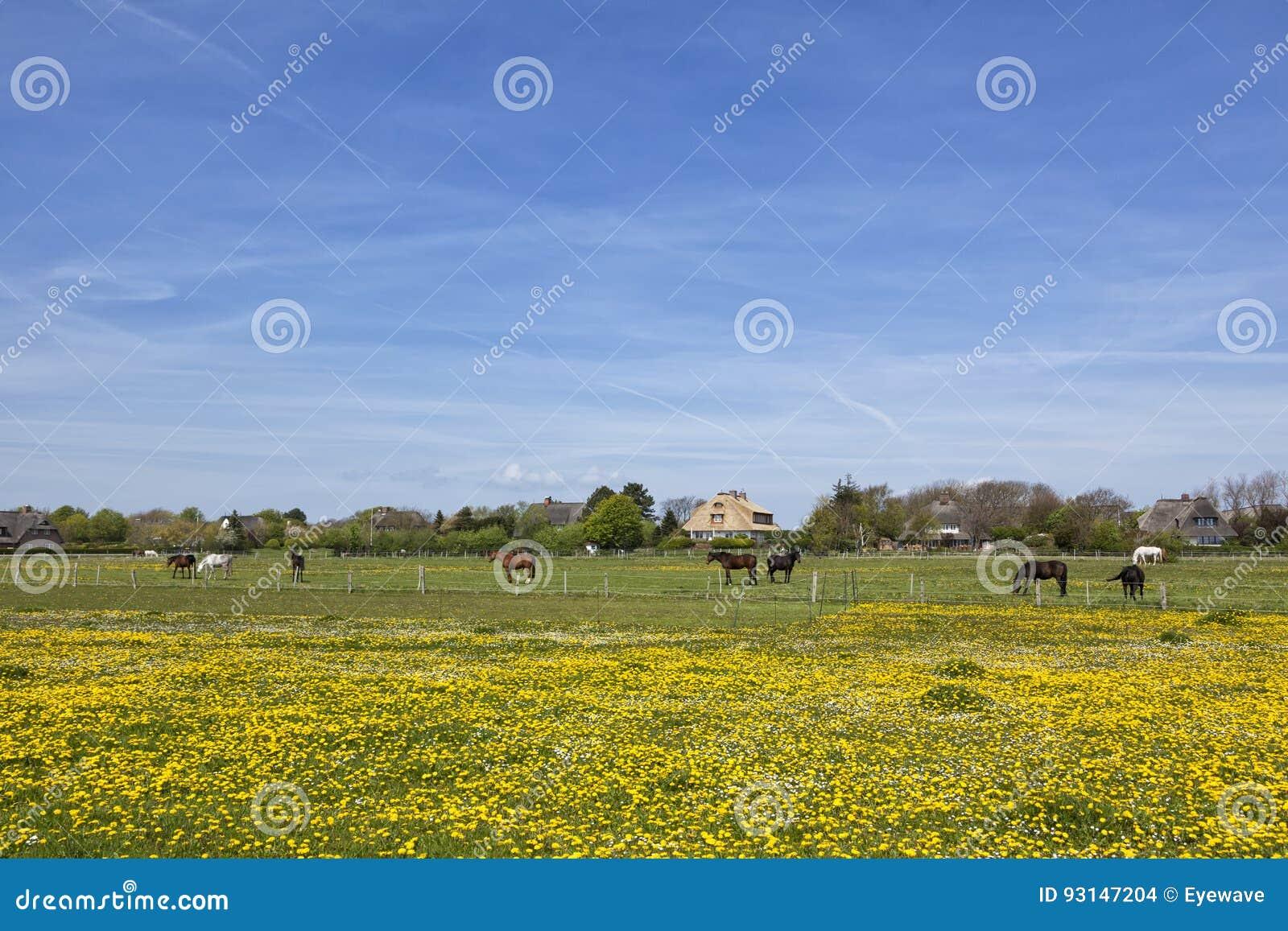 Paarden op weide buiten het dorp van Keitum, Sylt