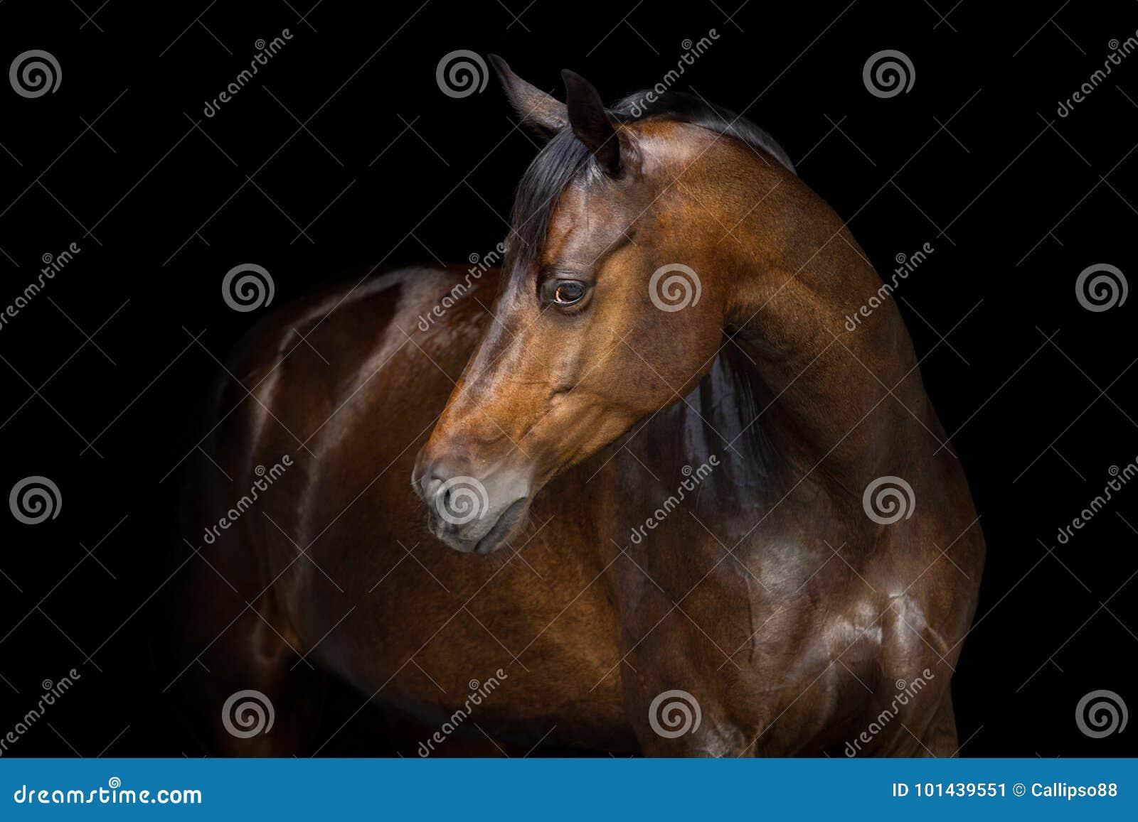 Paardportret op zwarte