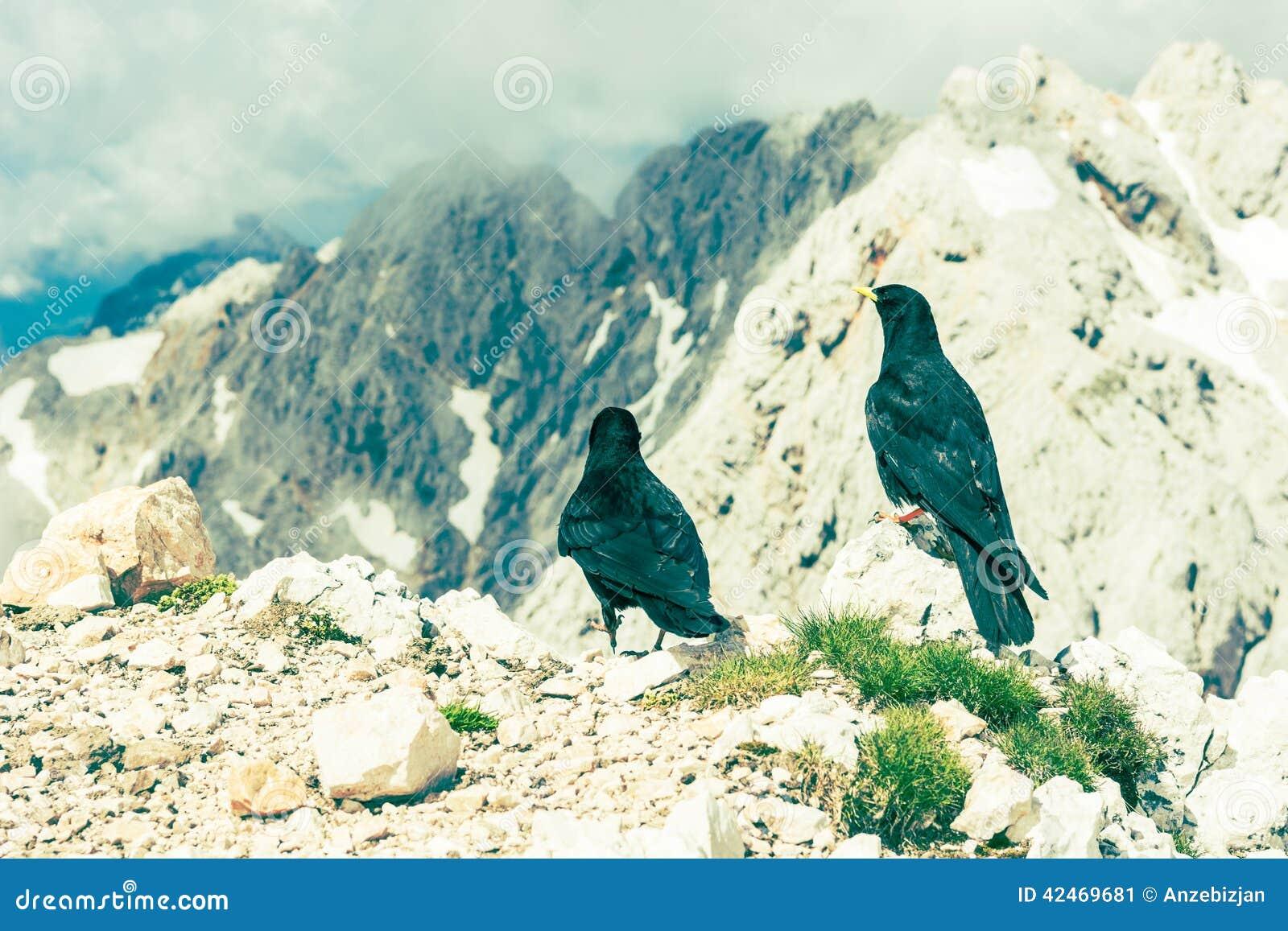Paare Alpendohlen