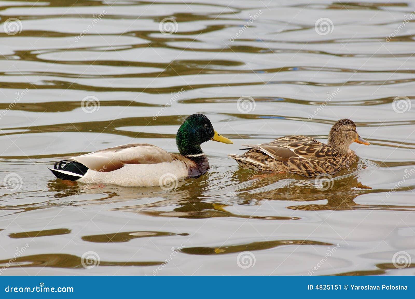 Paare der Enten