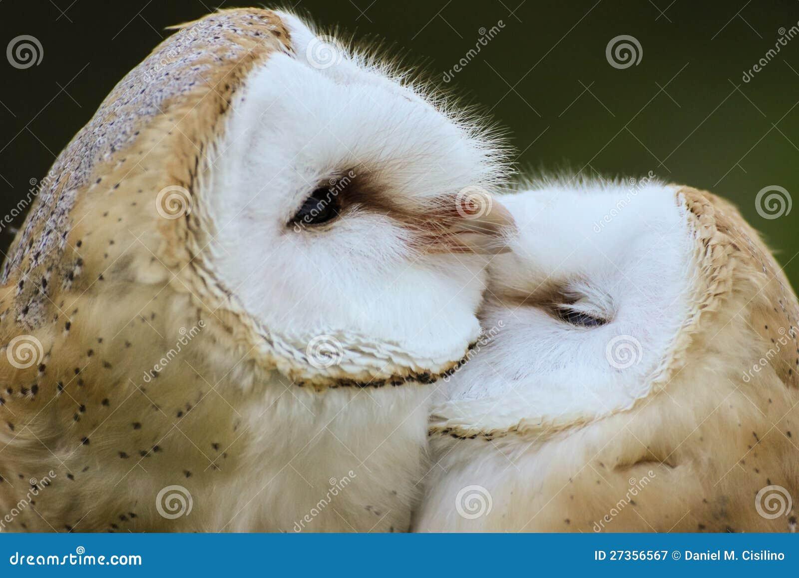 Paare der Schleiereulen, die sich pflegen