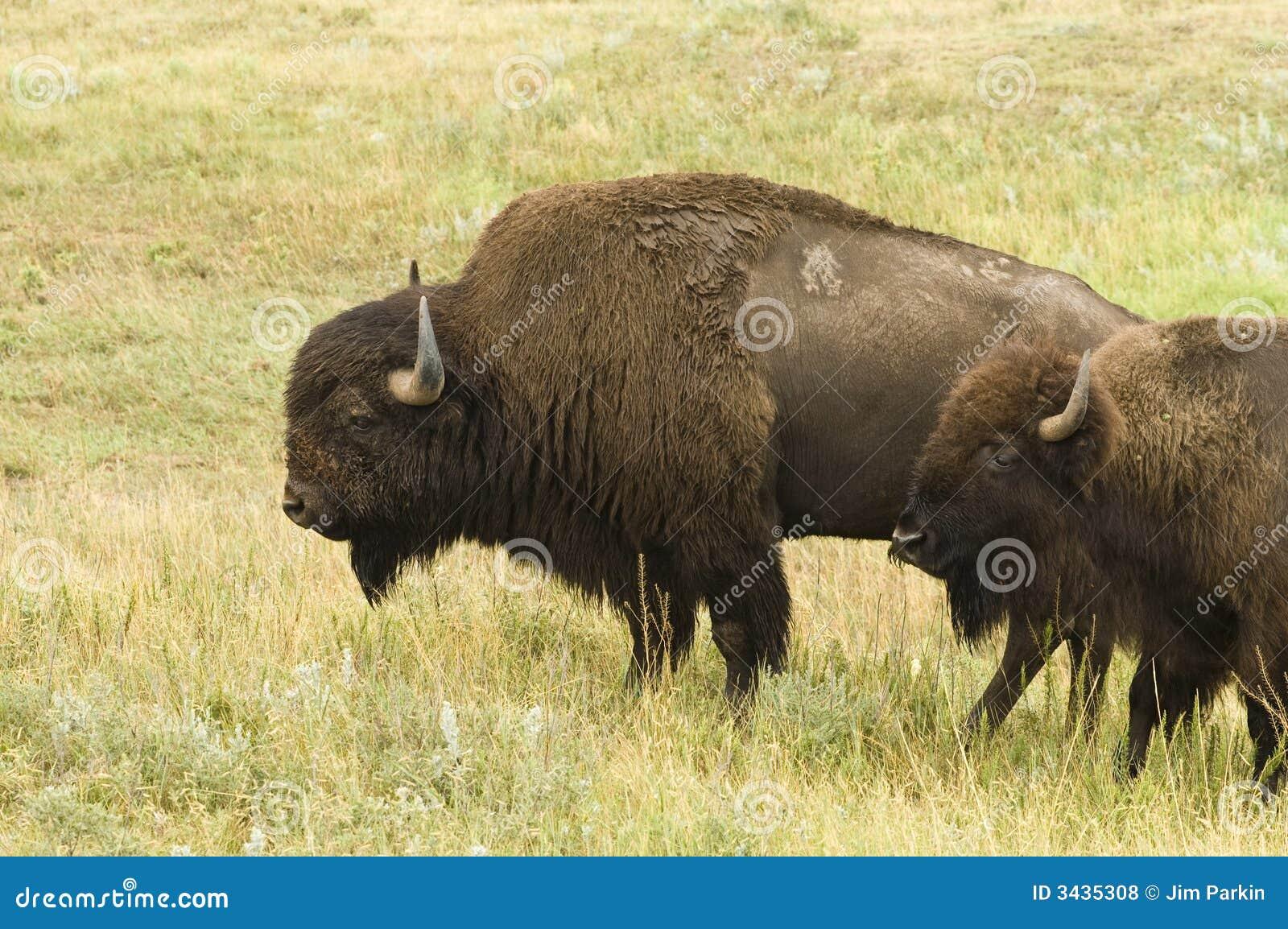 Paare des Büffels