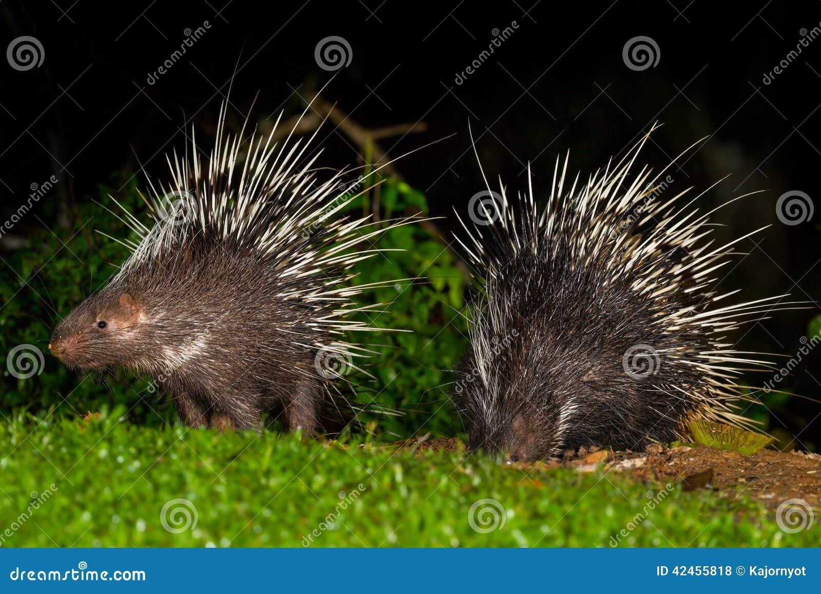 Paare des malaiischen Stachelschweins der nächtlichen Tiere