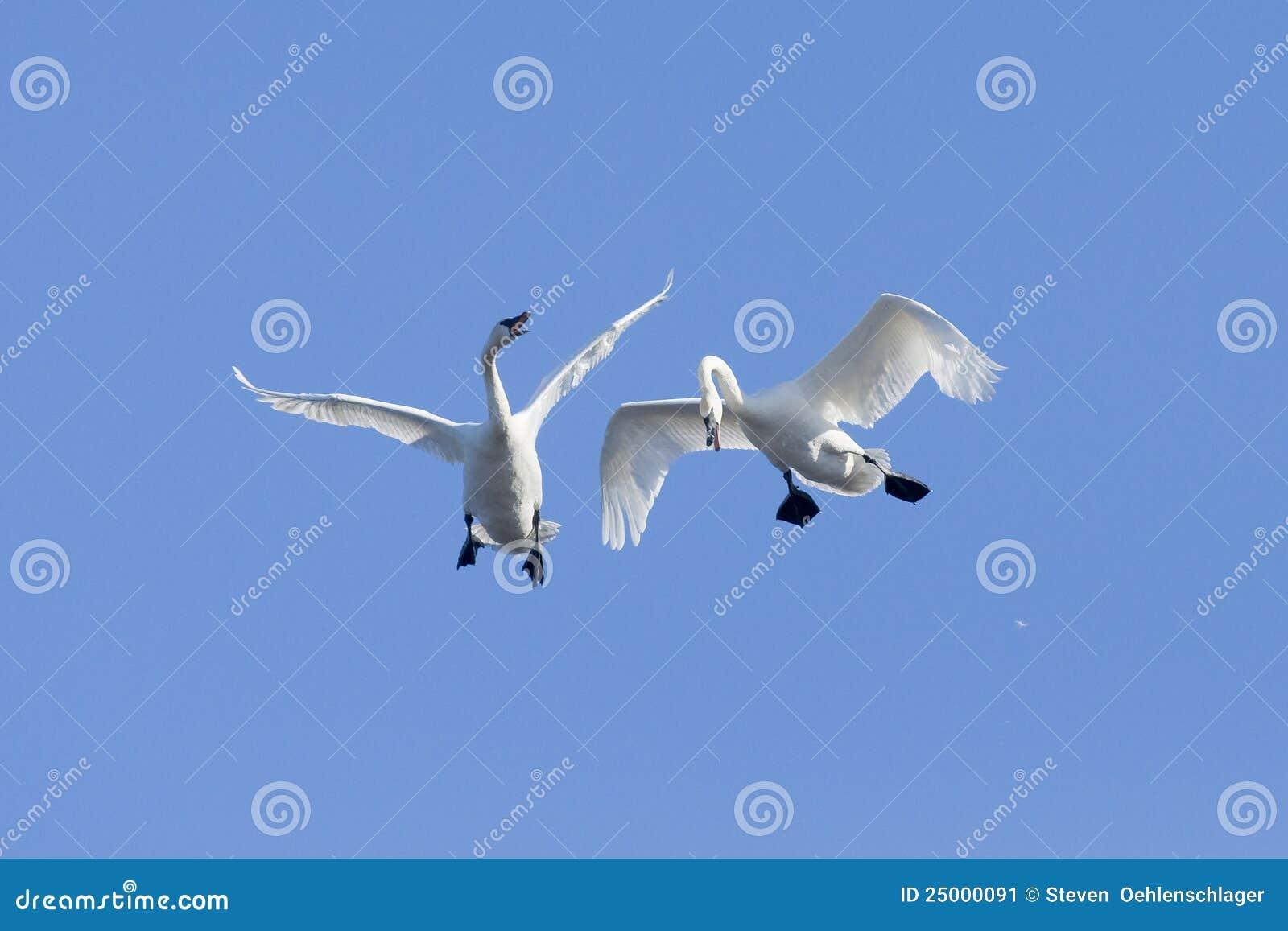 Paare Flugwesen Schwäne