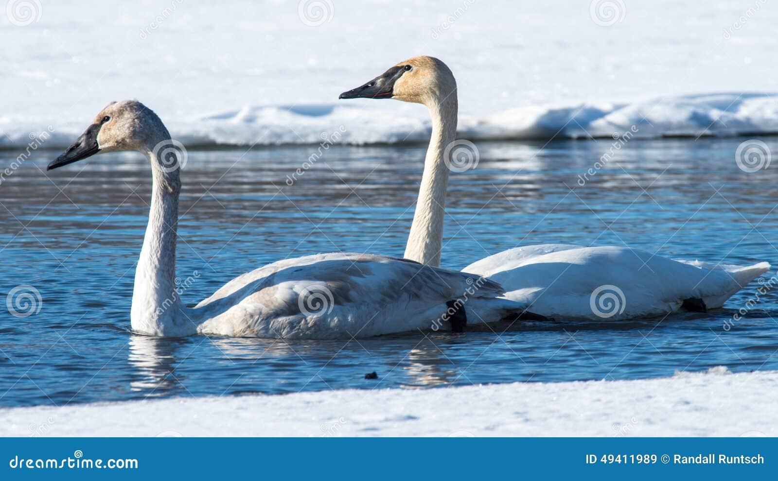 Download Paare Tundra-Schwäne stockbild. Bild von schwimmen, management - 49411989