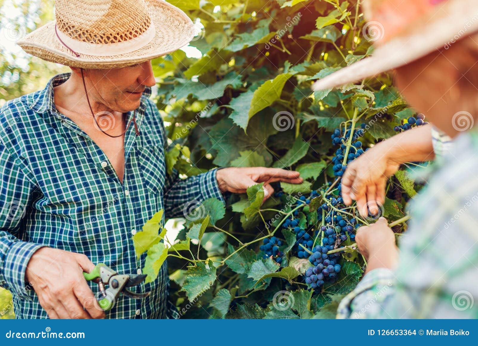Paare von den Landwirten, die Traubenernte auf ökologischem Bauernhof überprüfen Glückliche älterer Mann- und Frauenversammlungse