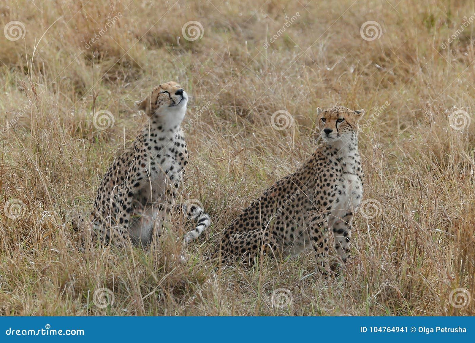 Paare von netten Geparden in der Savanne