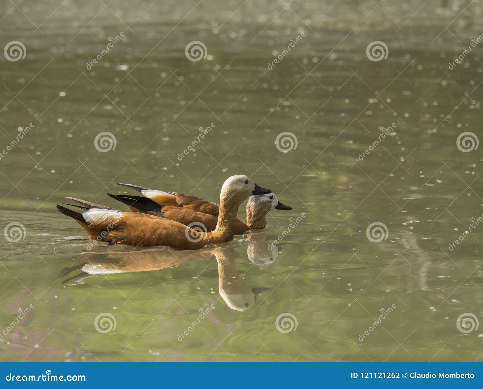 Paare von Ruddy Shelduck schwimmen auf stille Art in einem Teich