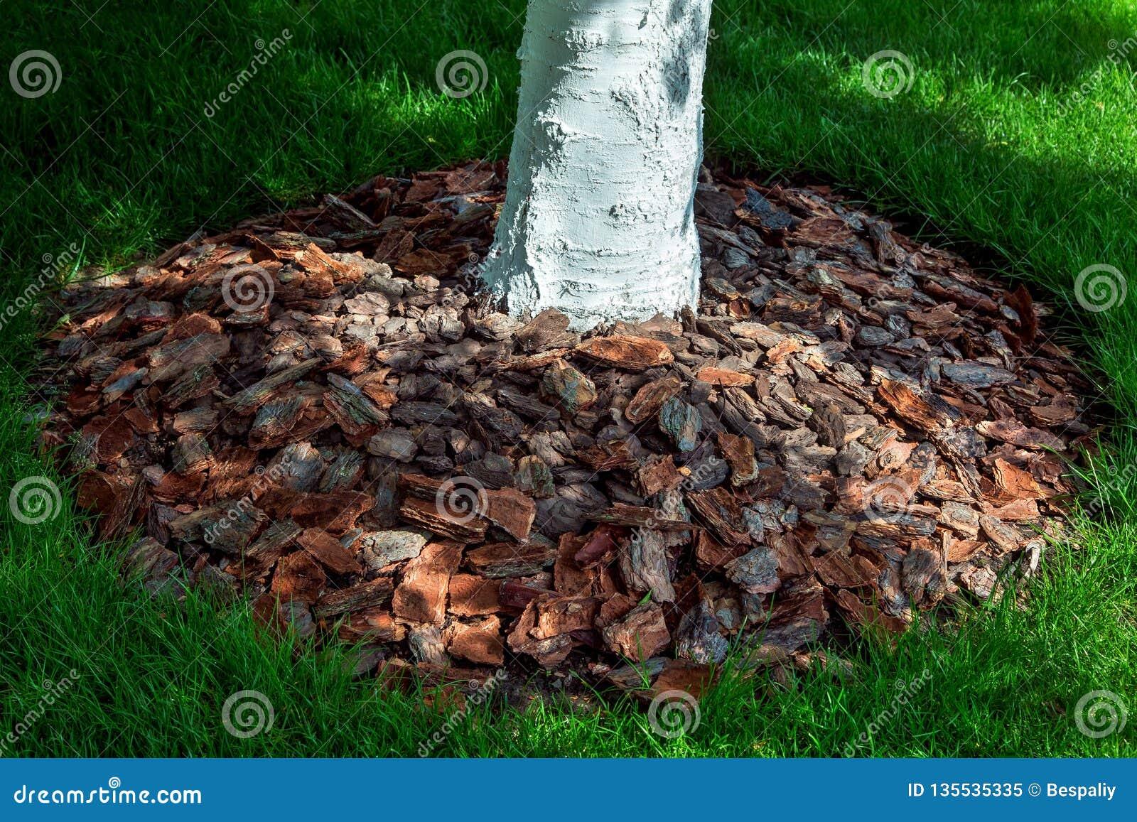 Pacciamazione della corteccia di pacciame di albero intorno ad un tronco di albero imbiancato