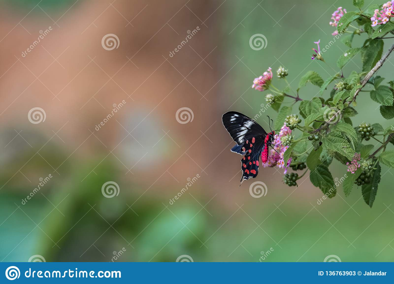 Pachliopta hector, the crimson rose butterfly