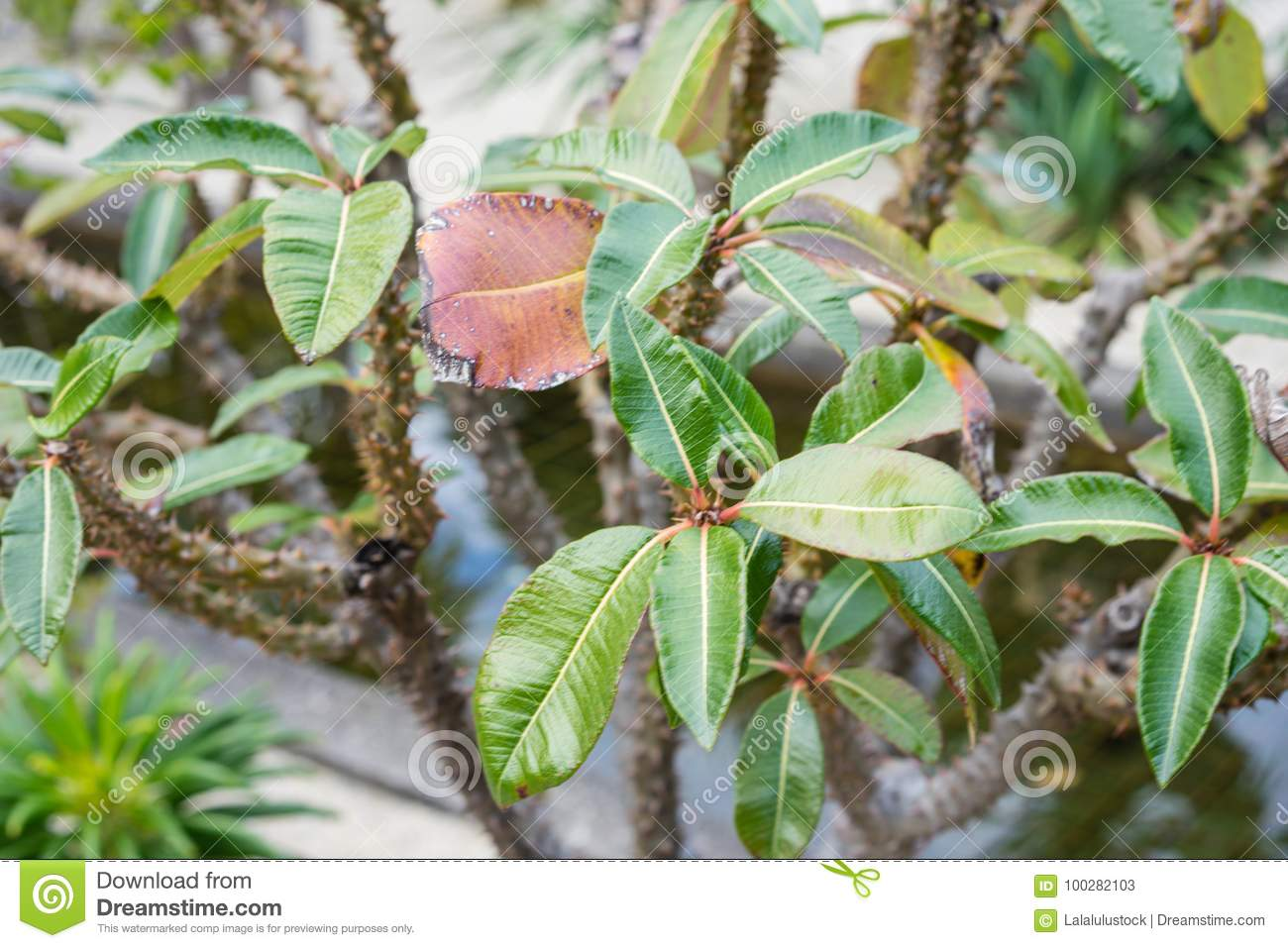 Pachypodium Plant Tree Palm Cactus Close Up Tree Trunk Leafs And ...