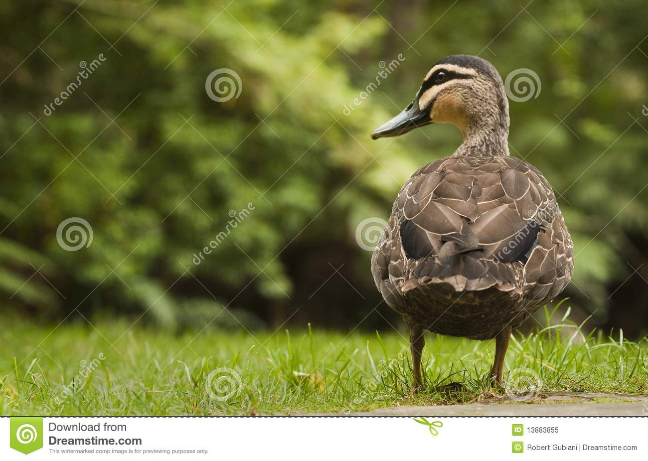 Pacific Black Duck on grass