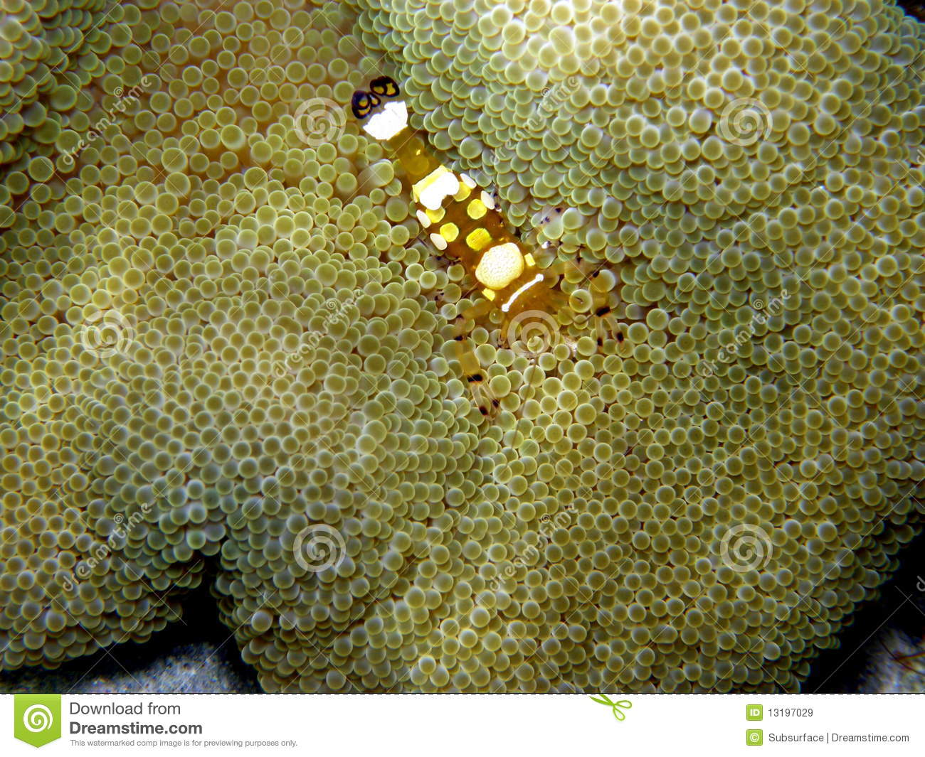 Pacific Carpet Anemone Popcorn Shrimp Stock Image Image Of Animal Descriptive 13197029