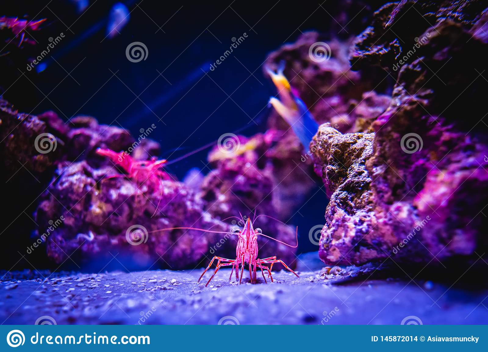 Pacific Cleaner Shrimp in a Coral Reef Underwater Environment