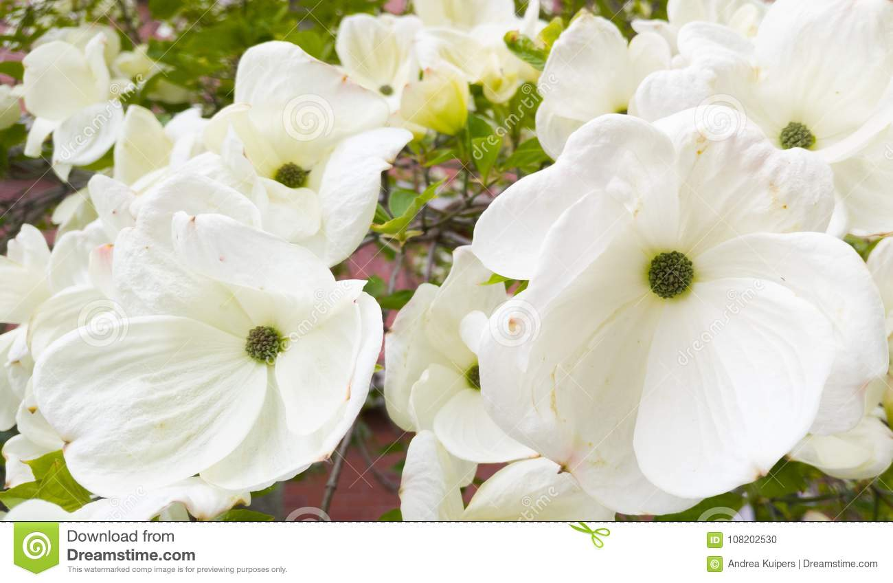 Pacific Dogwood Flowers Stock Photo Image Of Tree Spring 108202530