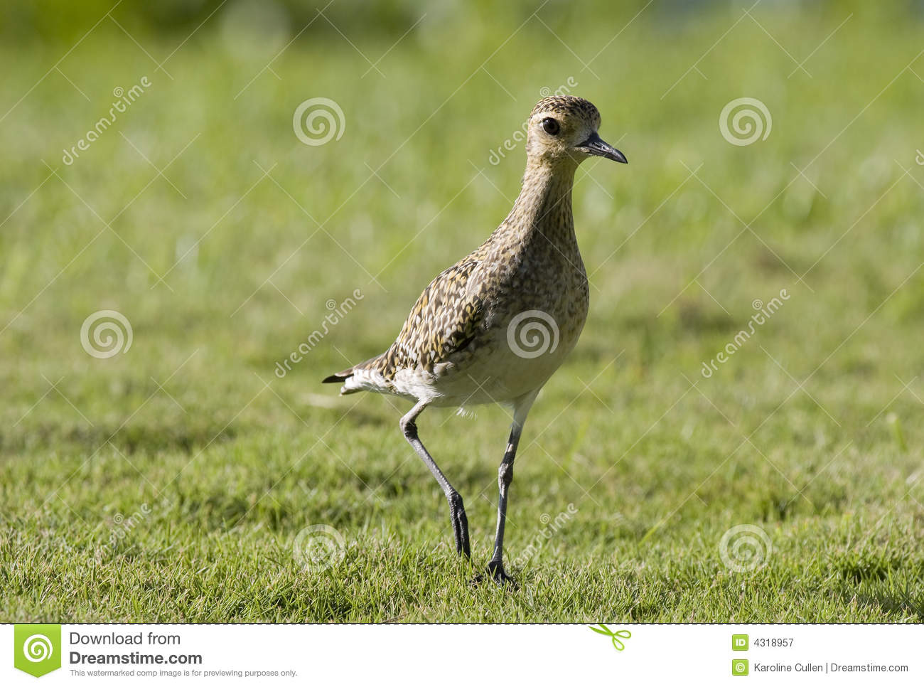 Pacific Golden Plover pauses in midstep on lush green grass. These ...