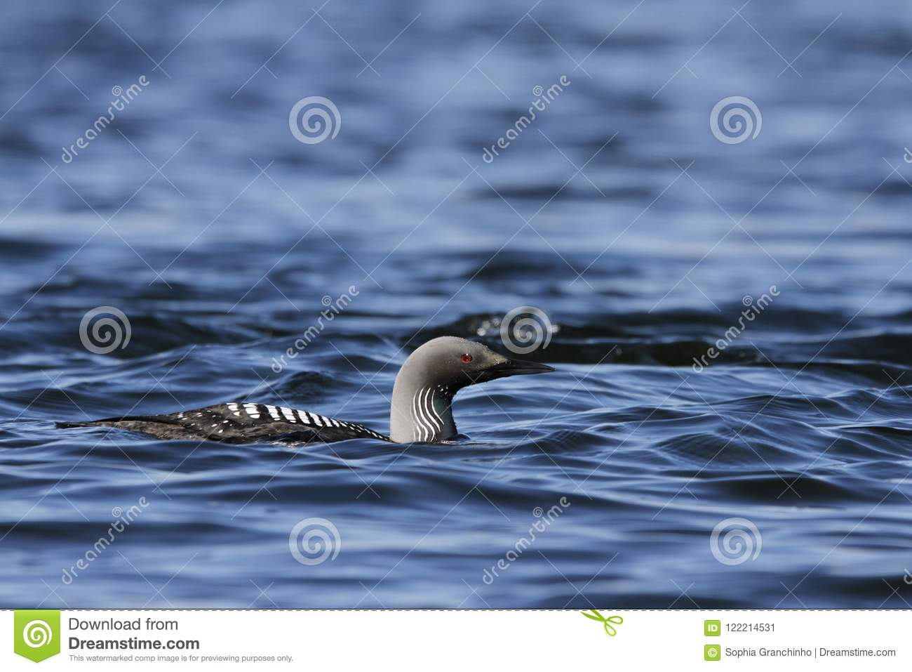 Pacific Loon swimming in the water in the arctic, near Baker Lake