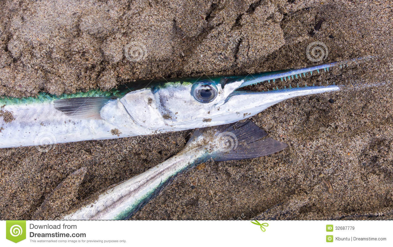 Needlefish Pacific needlefish