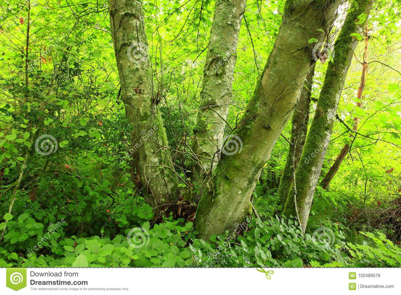 Pacific Northwest forest and Red alder tree
