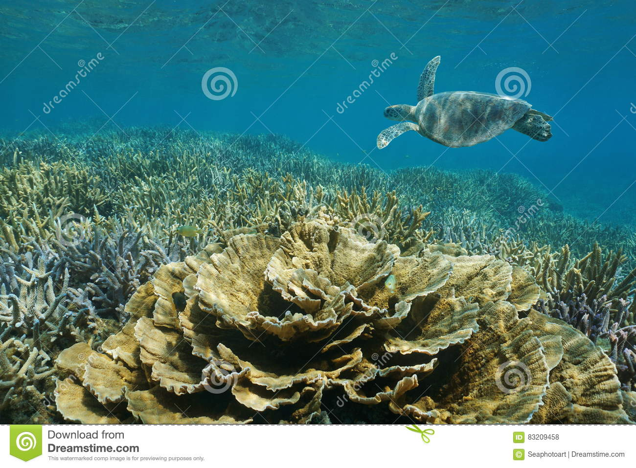 Pacific ocean underwater reef turtle and corals