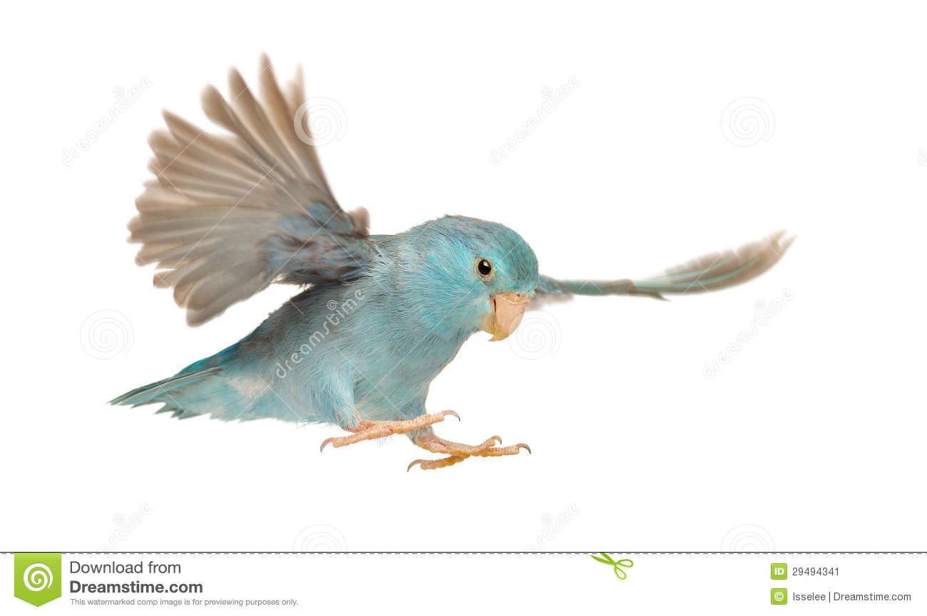 Pacific Parrotlet, Forpus coelestis, flying against white background.