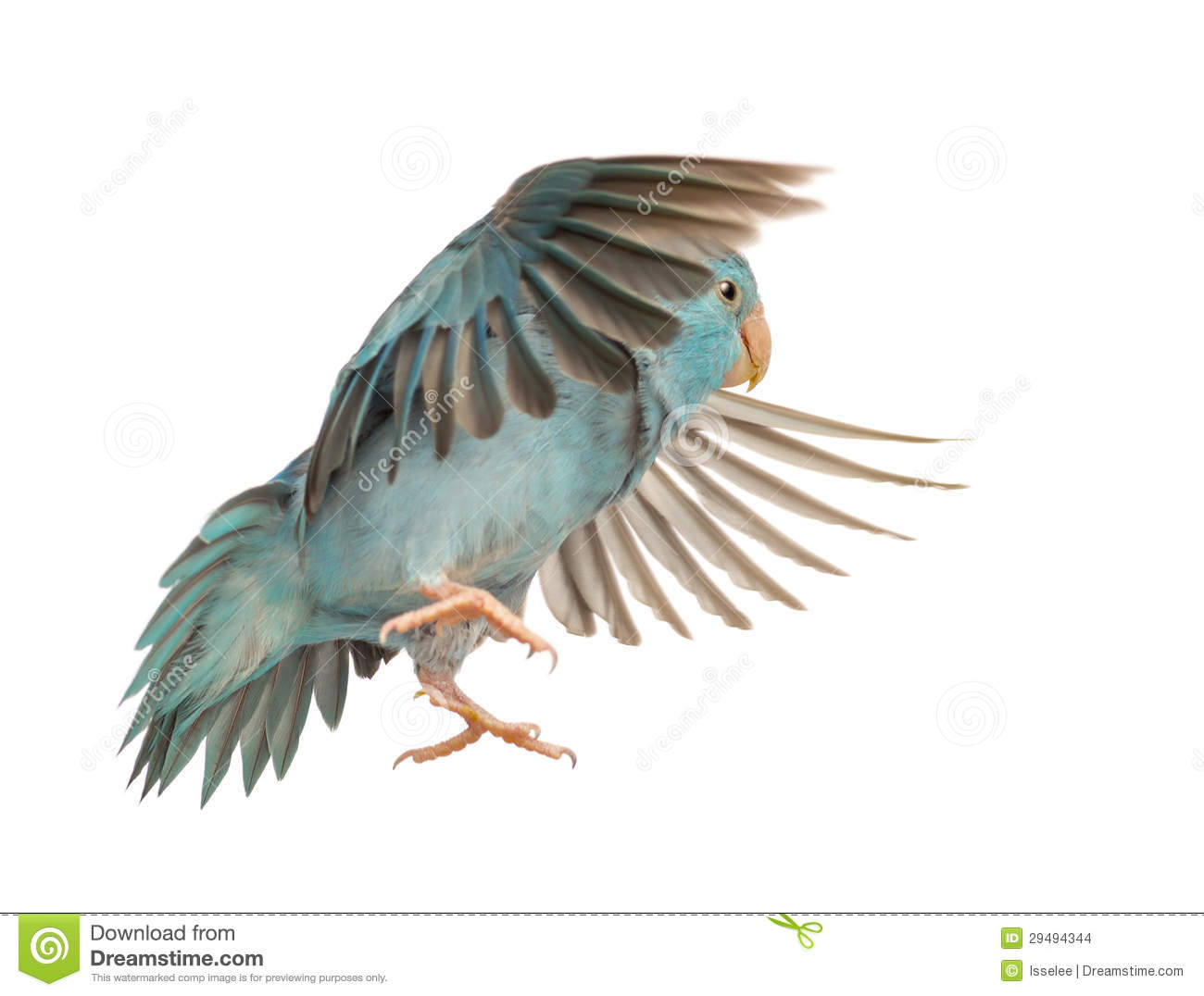 Pacific Parrotlet, Forpus coelestis, flying