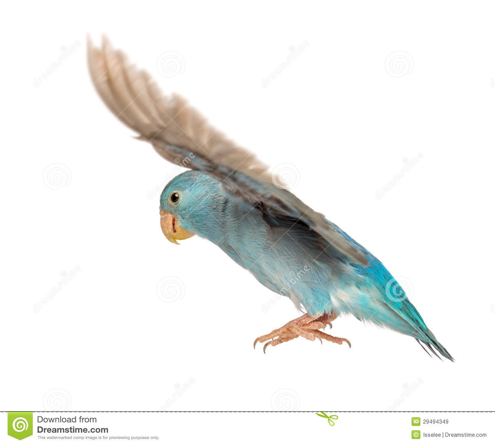 Pacific Parrotlet, Forpus coelestis, flying