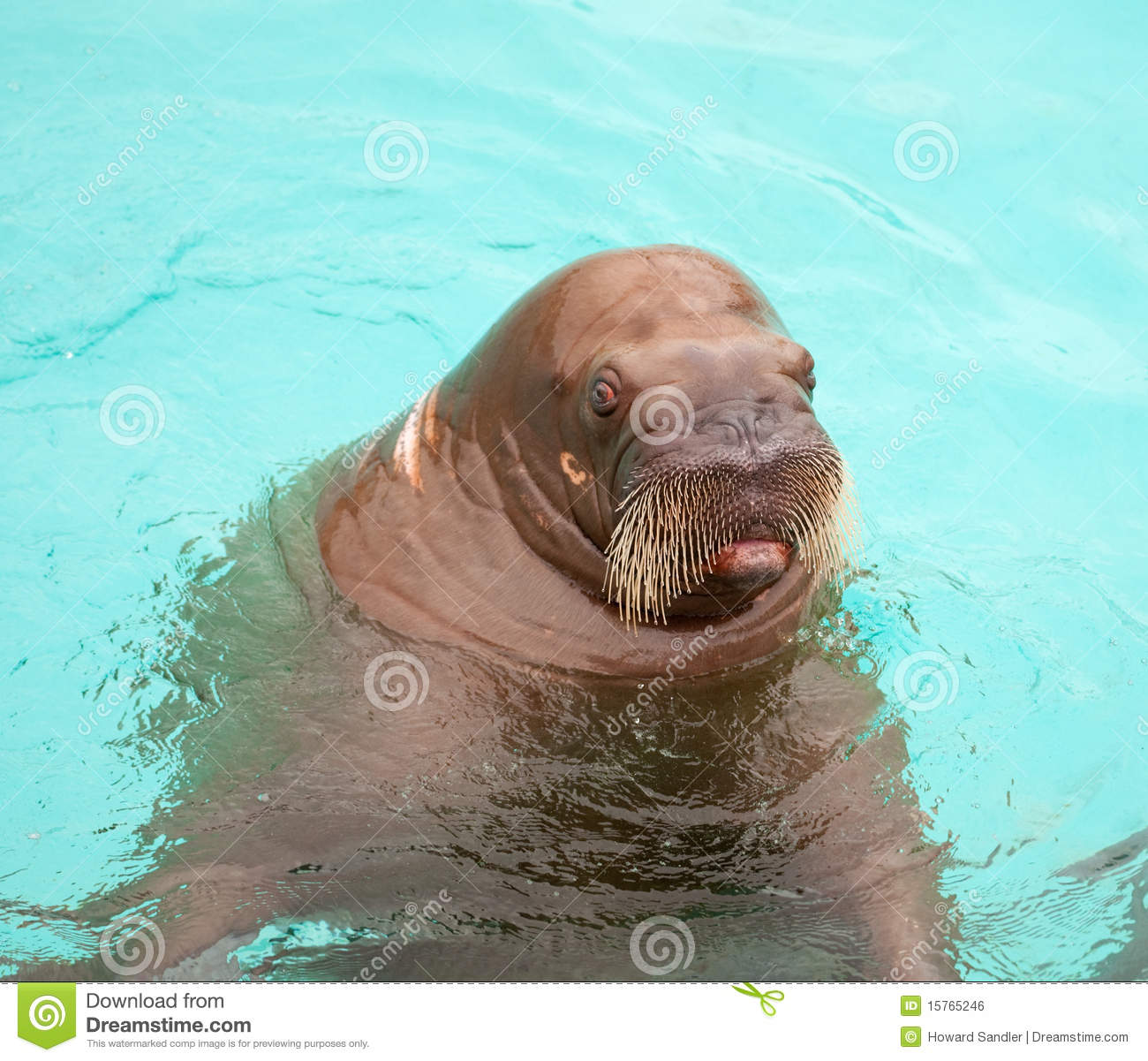 a surprised walrus face stock images image 26212234