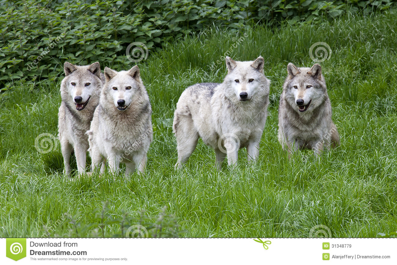 https://thumbs.dreamstime.com/z/pack-european-grey-wolves-playing-grass-31348779.jpg Gray