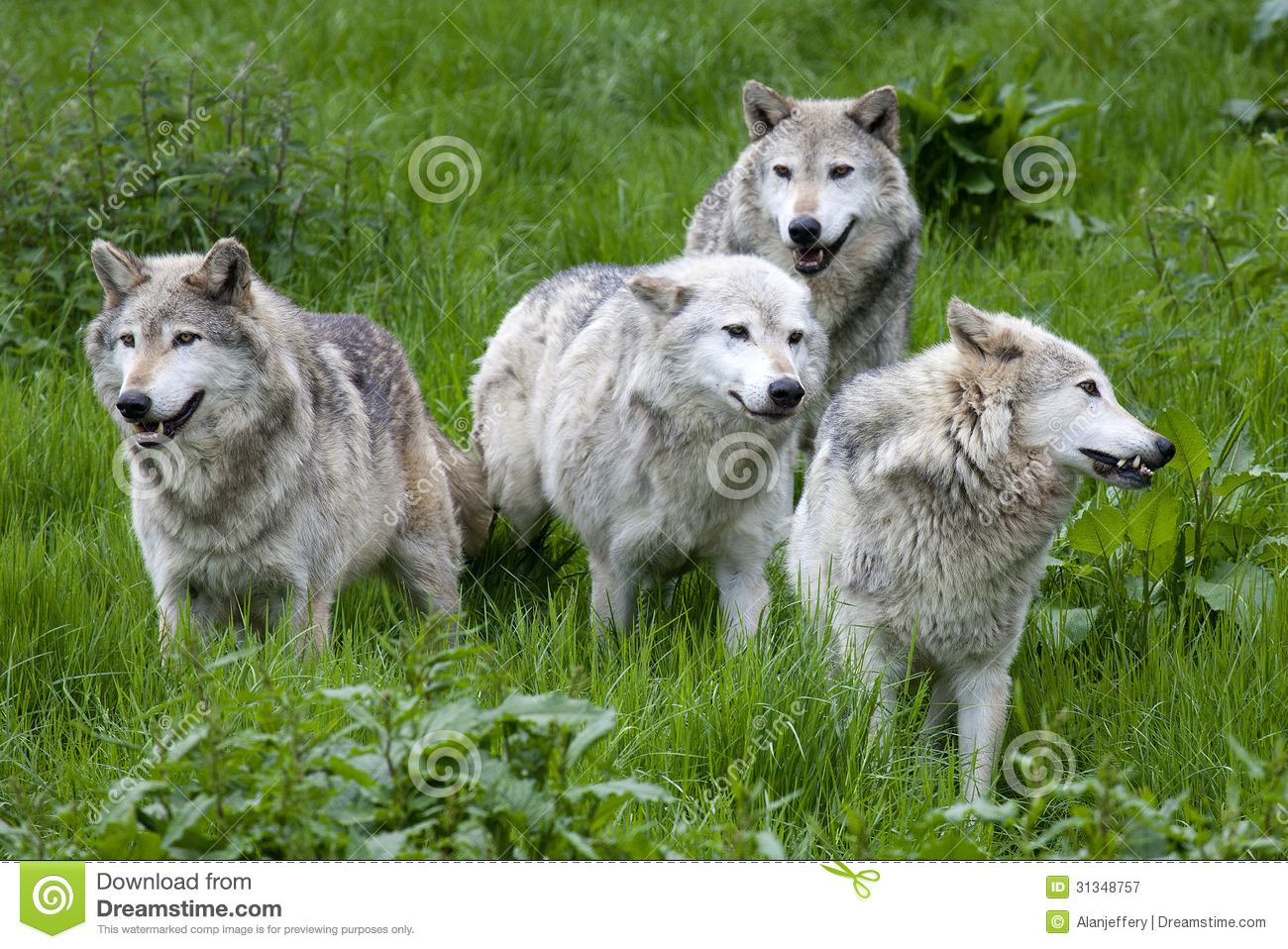 https://thumbs.dreamstime.com/z/pack-four-european-grey-wolves-playing-grass-31348757.jpg Gray