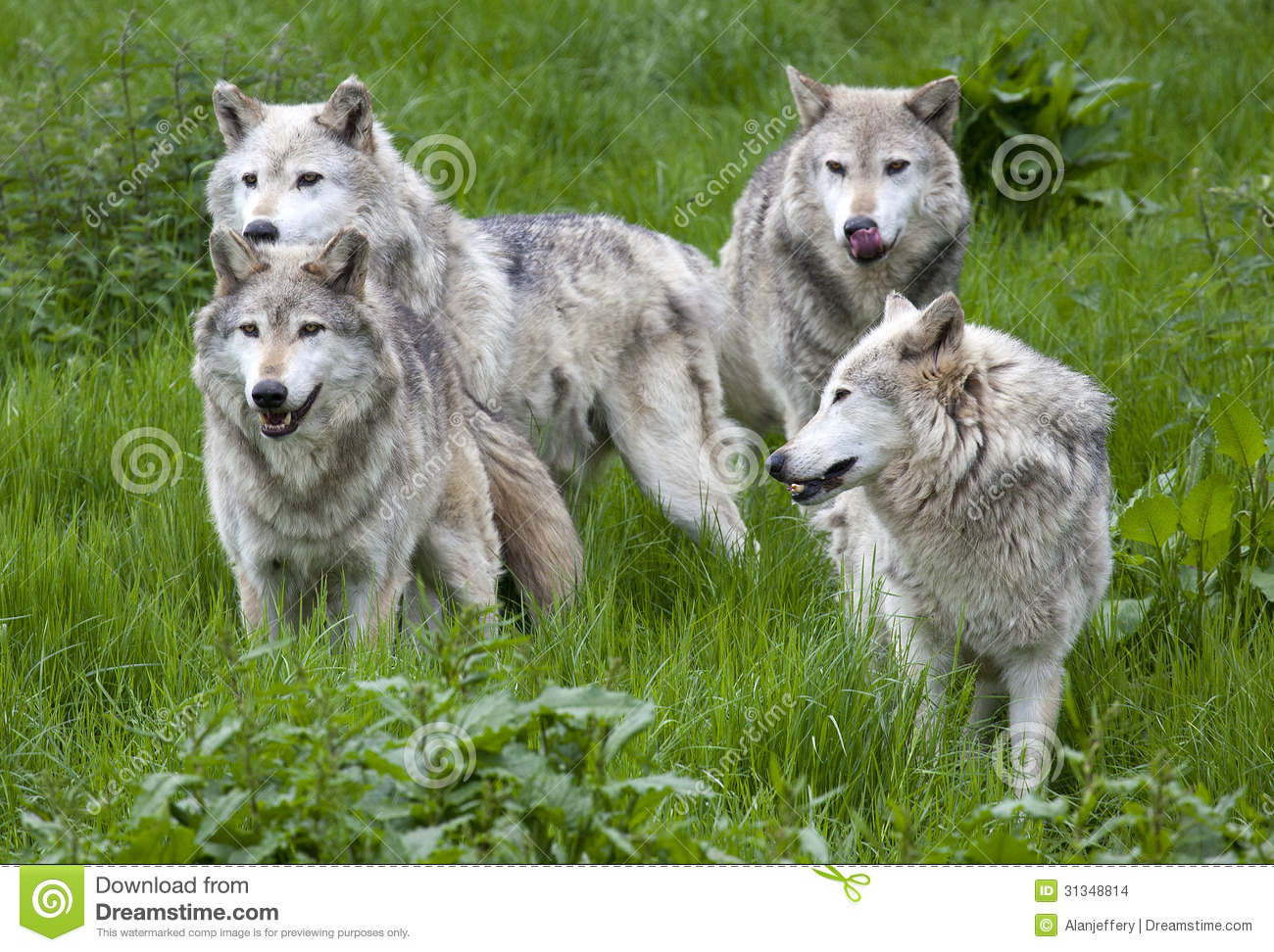 https://thumbs.dreamstime.com/z/pack-four-european-grey-wolves-playing-grass-31348814.jpg Gray