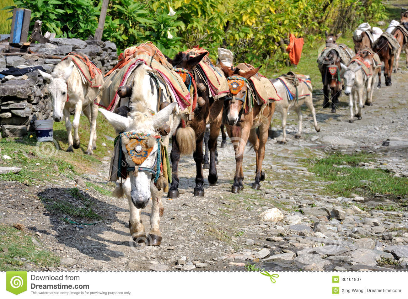 Pack Horses In The Himalayas Stock Image - Image: 30101907