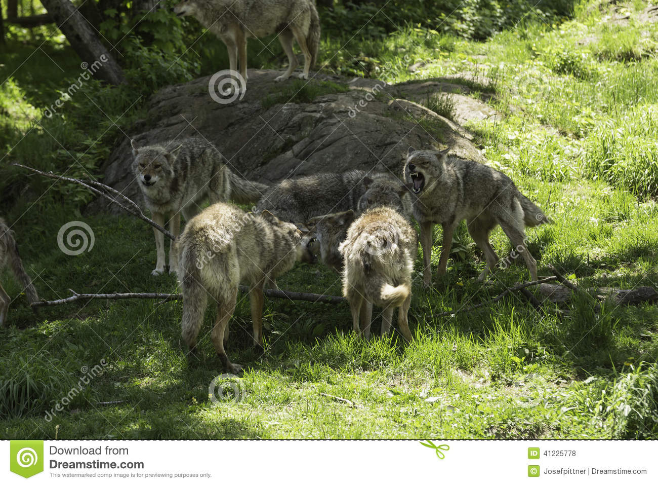 A pack of howling Coyotes