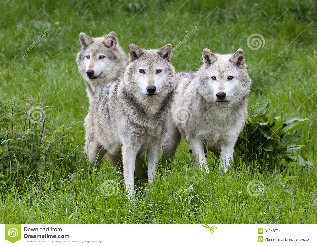 Pack Three of European Grey Wolves