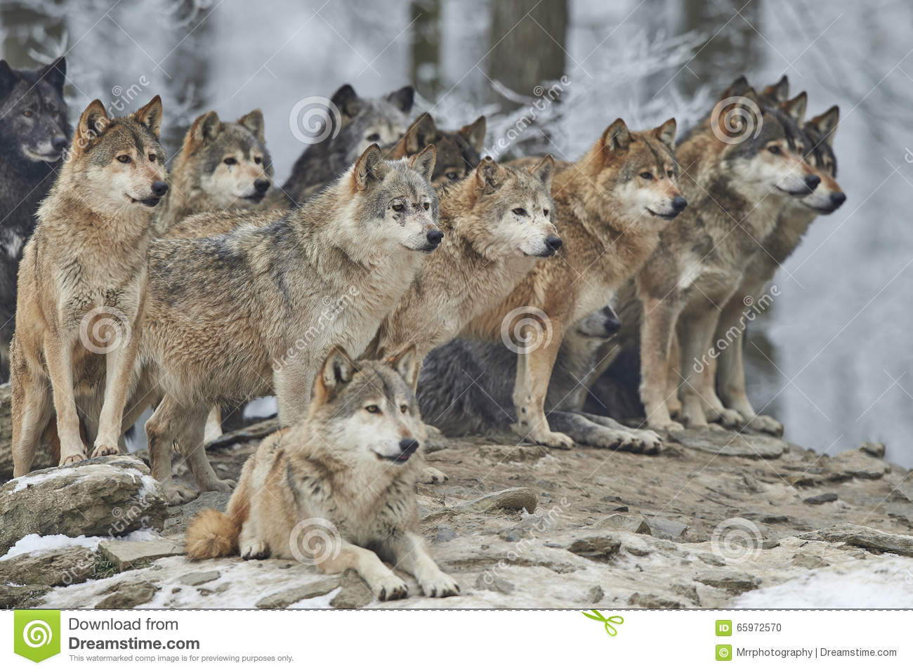 A Pack Of Wolves Stock Photo Image Of Dangerous Canidae