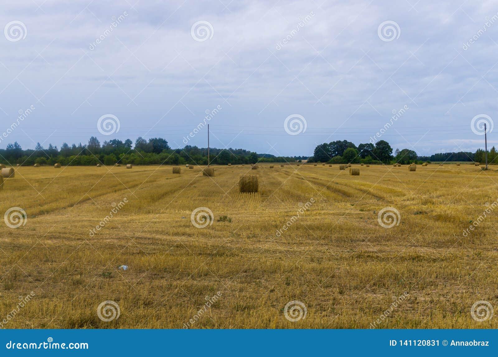 Packar av hö rullar på jordbruksmarken, vridet hö i fältet
